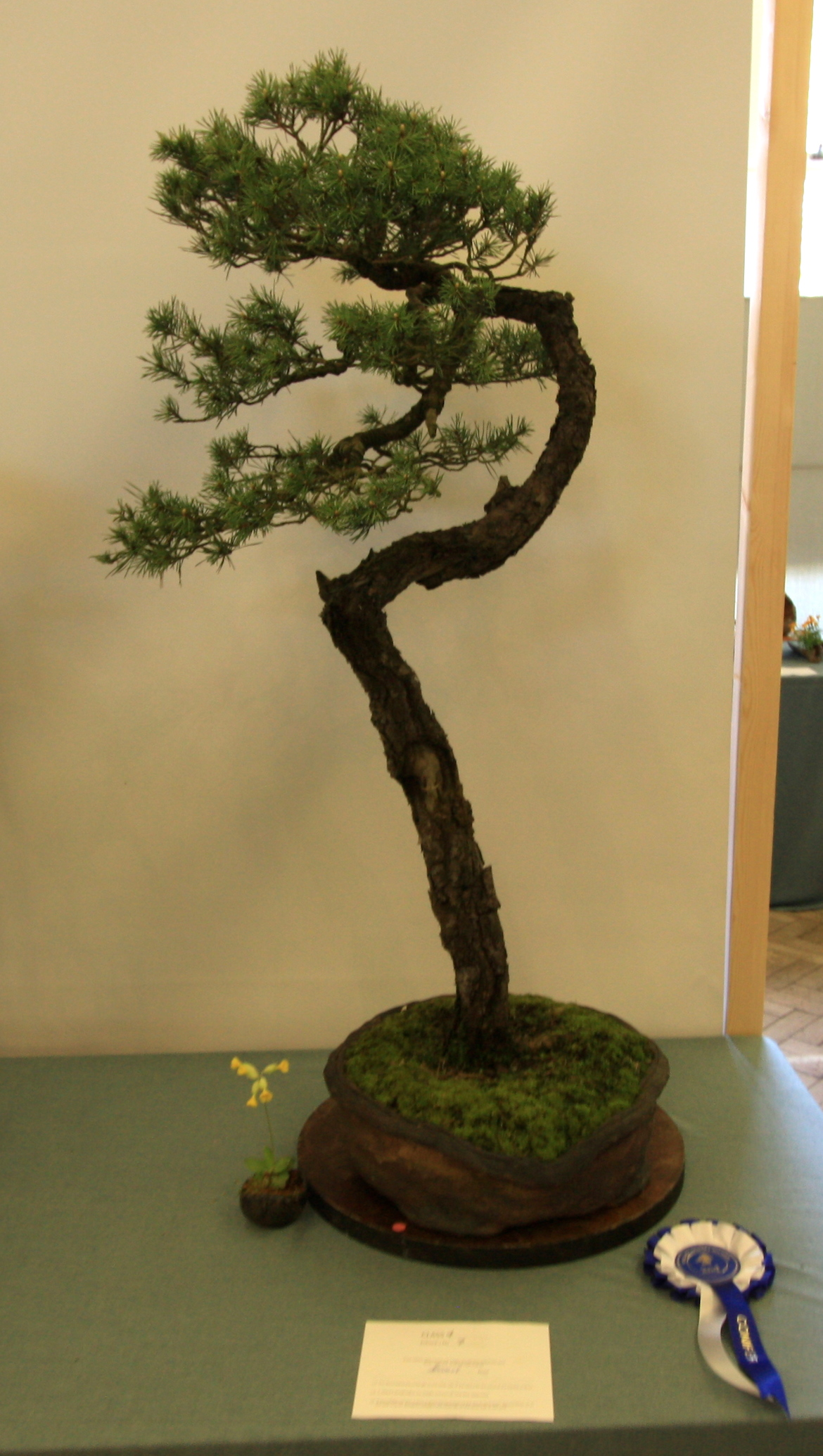 Conifers Class 4 and 2nd place went to T. Banbury with his Scots Pine