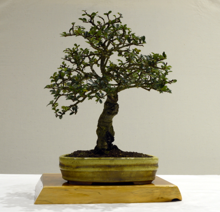 3rd place, SM Chinese Elm