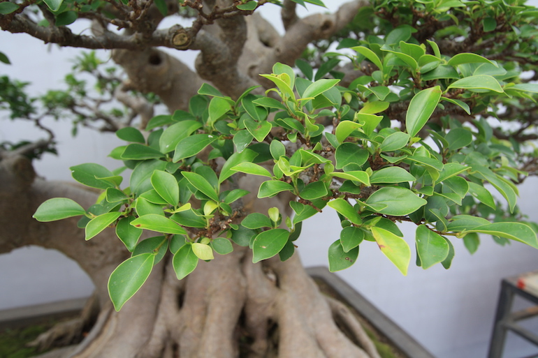 how to look after buddha fig tree bonsai