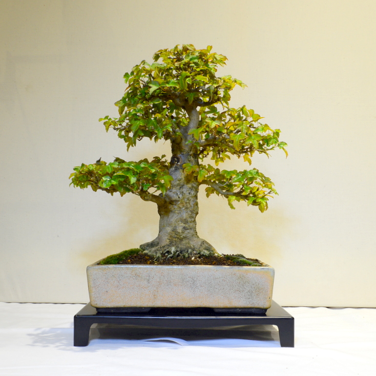 3rd place, SM Trident Maple