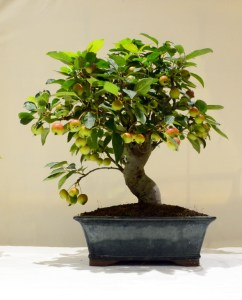 2nd place, DB Crab Apple