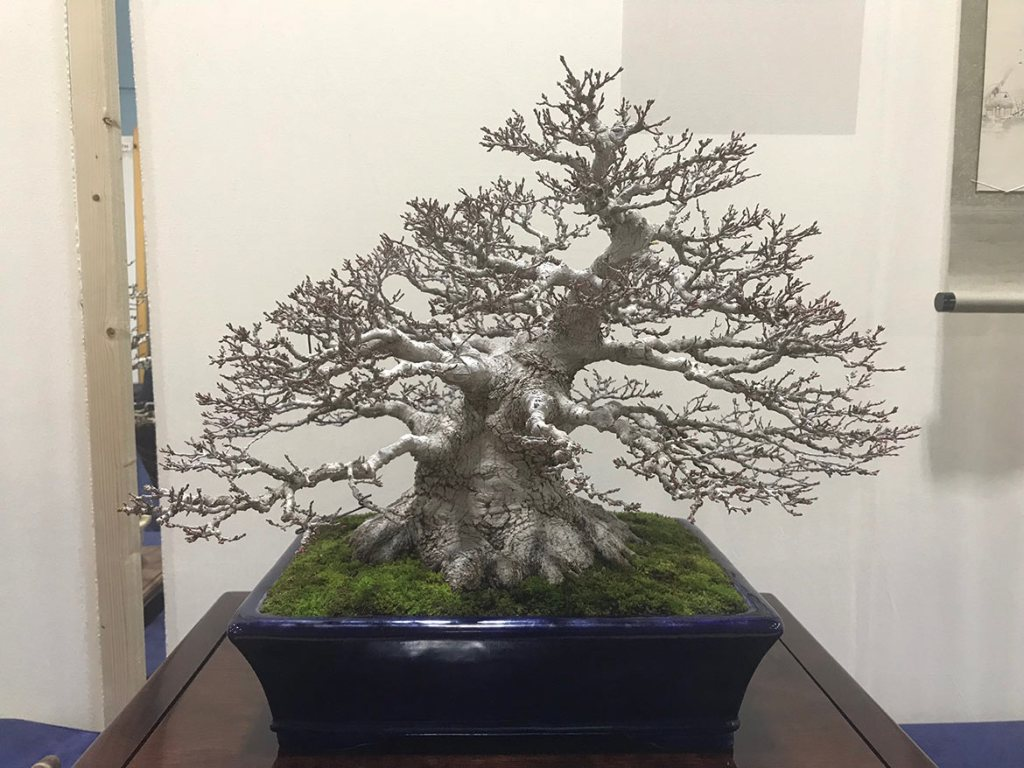 Mountain Maple