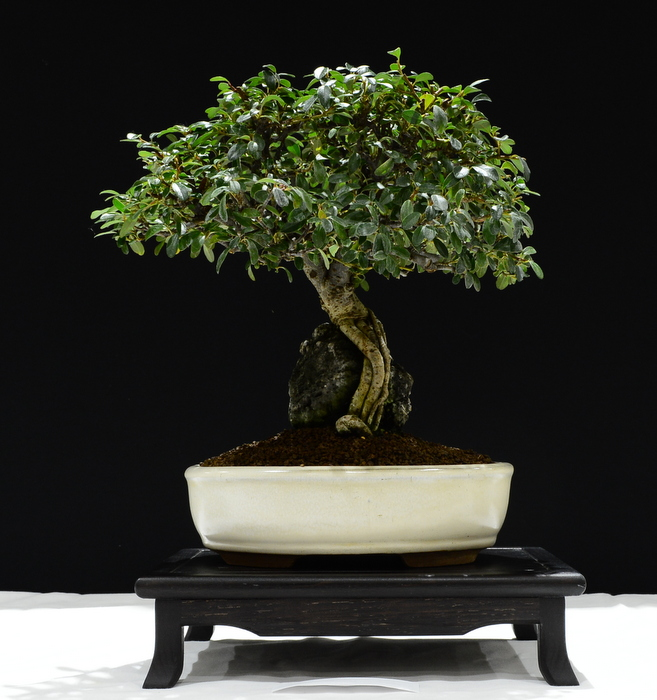 Cotoneaster. Height 40cm