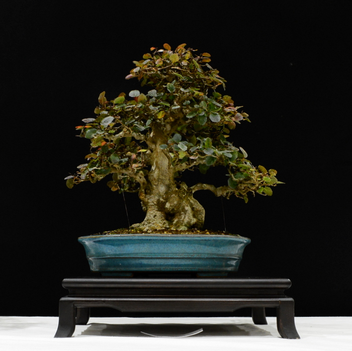 Joint 2nd place, SM Korean Hornbeam