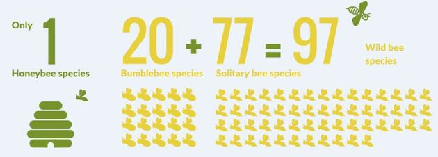 bee species in Ireland
