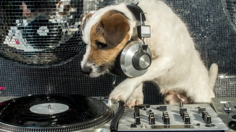 Jack Russell terrior with headphones and an LP record