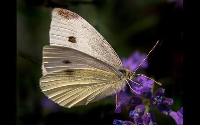 Bob Stokoe - Small White Butterfly Bob Stokoe