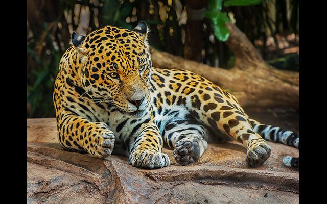 gallery_Jaguar Bob Stokoe