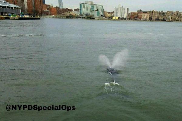 NYの川にクジラが出現!非常に珍しい姿を警官が撮影し話題に
