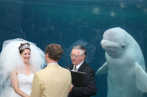 結婚式に突然シロイルカが参加、出席者のように2人の様子を見守る姿が微笑ましい