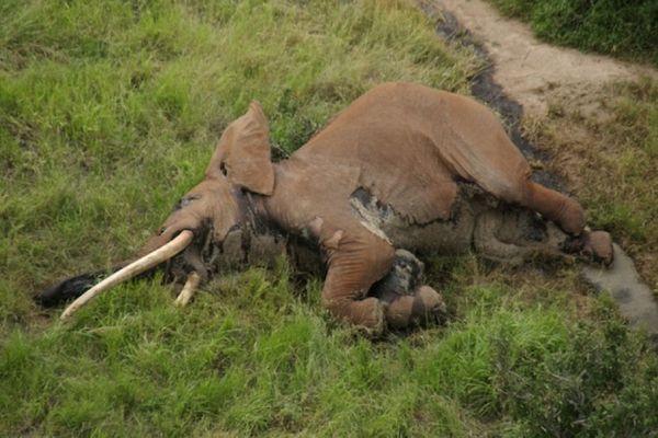 アフリカで数少ない巨大な牙を持つゾウ、密猟者が毒の矢で殺害か?