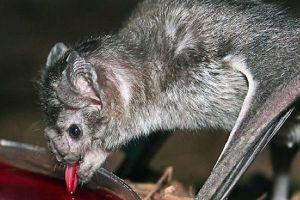 ブラジルで吸血コウモリが人間を襲い始め、今までに1人死亡、40人が治療中