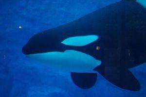 シャチやイルカなどの繁殖を法律で禁止:仏政府