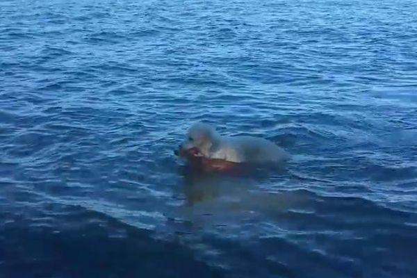 散歩中に突然、ワンコが海に飛び込み、溺れかけていた子鹿を救助