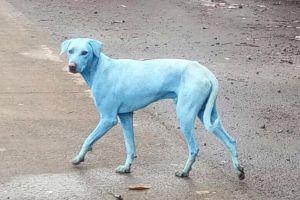 インドの街で「青い犬」が増加、原因は川へ垂れ流された産業廃棄物