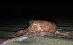 なぜ?海で暮らすはずのタコがビーチに多数出現、めったにない光景が目撃される