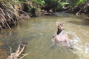 「ふー、気持ちいい」筋肉ムキムキのカンガルー、水浴びする姿がセクシーだと話題に