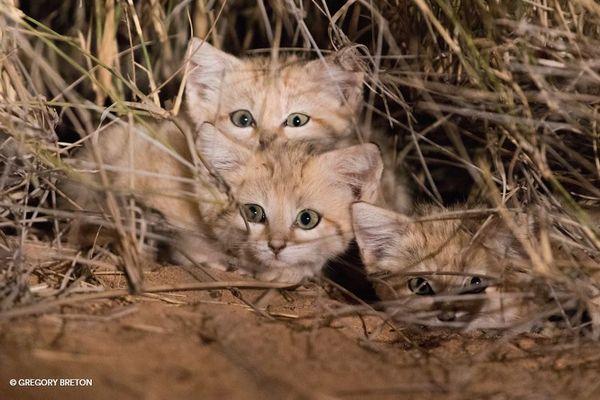 【貴重映像】砂漠に生息するスナネコの子供、保護団体が4年かけて動画の撮影に成功