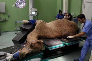 ドバイで世界初となる「ラクダ専門病院」がオープン