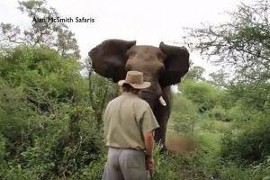 突進してくる巨大なアフリカゾウ、ガイドの男性が動かずに相手を林へ追い返す