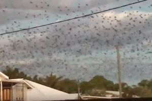 豪で15万羽のコウモリが大発生、多くの問題を引き起こし住民も困惑