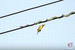 鳥を狙うため、バランスを取りながら電線の上を這うヘビの動画にヒヤヒヤ