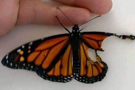 生まれつき羽がない蝶、女性が行った手術のおかげで、ついに空を飛べるように