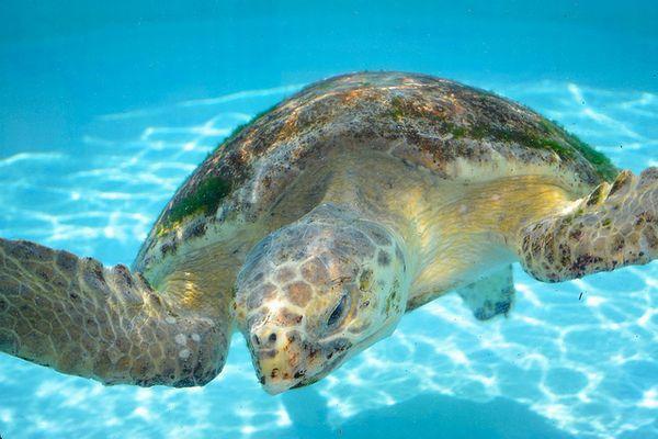 温暖化の影響か?豪北部に生息するウミガメの多くがメスであることが判明