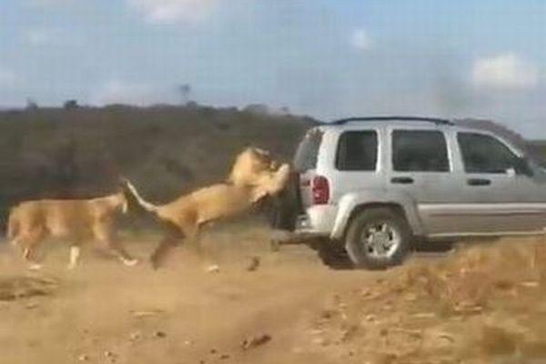 「いかないでくれー」ライオンが車の後部にかぶりついて移動する動画がユニーク