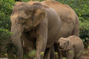 アジアゾウの皮膚から作られる製品、中国での需要増で専門家が警鐘を鳴らす