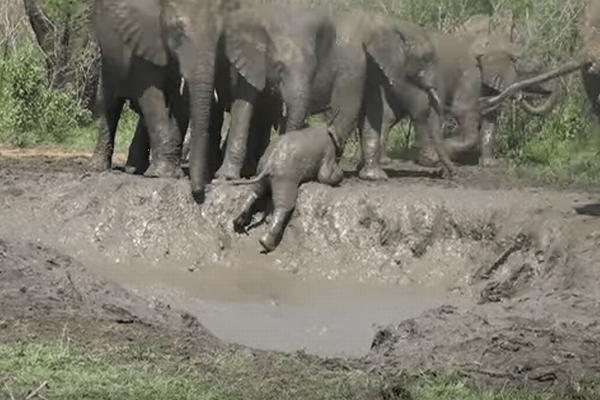 泥の窪みにはまったゾウの赤ちゃん、抜け出そうと必死な姿がかわいい
