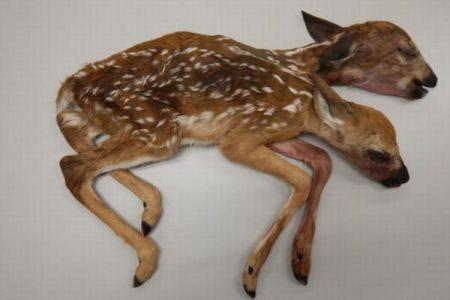 野生では極めて珍しい、2つの頭を持った子鹿がアメリカで発見される