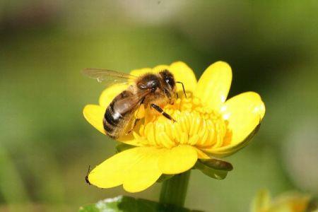EUがハチに害を与える農薬の屋外使用を禁止、この決定に波紋が広がる