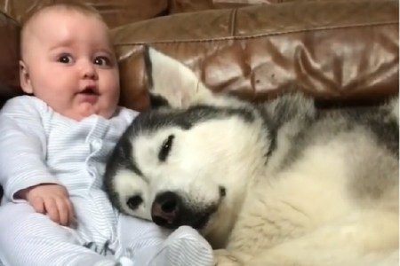 1日で70万回再生を突破!ハスキー犬×赤ちゃんの動画に癒される