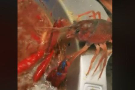 ザリガニが煮立った鍋から脱走、左腕を切り落としてまで逃げる姿が凄い