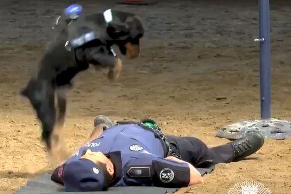ワンコが心臓マッサージ!救助のパフォーマンスを行った警察犬がかわいい