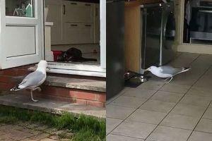 猫のそばを通って家に堂々と侵入、エサをつつくカモメが大胆すぎる