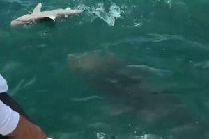 まさにモンスター級!ゴリアテ・グルーパーがサメを一飲みする映像が大迫力