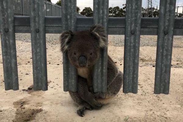 フェンスに頭がはまって動けなくなったコアラ、救出されるのは今回で3度目