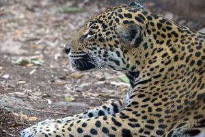 米の動物園でジャガーが脱走、園内にいたアルパカやエミュなど6頭を殺す