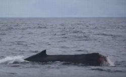 漁網が絡まり、尾びれが失われたザトウクジラの子供が目撃される【動画】