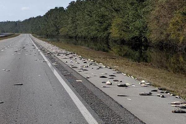 ハリケーン「フローレンス」による影響で、高速道路に大量の死んだ魚が出現
