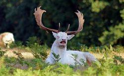 100万頭のうち1頭と言われる白い鹿、大学生が偶然撮影することに成功
