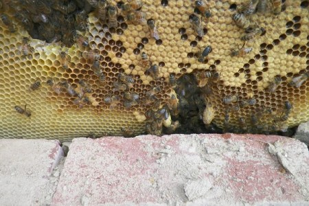 蜜蜂のプロも驚いた!民家の壁の中から出てきた超巨大な巣に8万人がリアクション