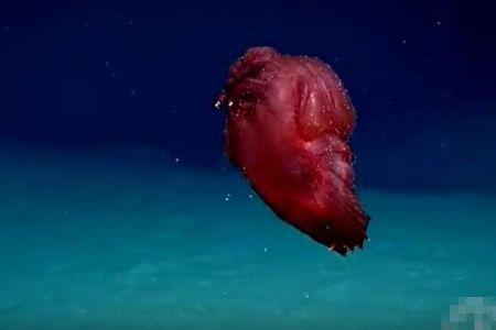 「頭のないモンスター」と呼ばれる珍しい生物、南極付近の深海で撮影に成功