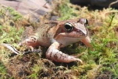 国内外来種も脅威!北海道のカエルが本州から運ばれた両生類を食べて中毒死