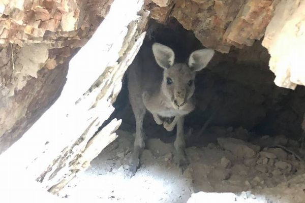 廃坑をのぞいたら小さな顔が!穴に落ちていたカンガルーを救出