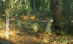 大きさはまさかの60センチ越え?米の森で撮影されたリスが巨大すぎる!