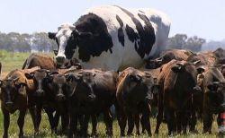 背の高さは約2m、重さ1.4トン!巨大すぎる牛がオーストラリアで話題に