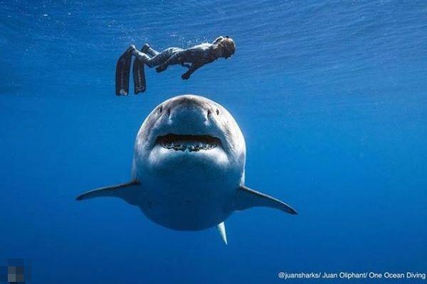 巨大なホオジロザメとダイバーが一緒に泳ぐ!奇跡のような動画が話題に